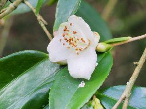 Camellia tsai