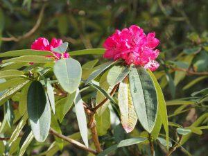 Rhododendron arboreum subsp delavayi
