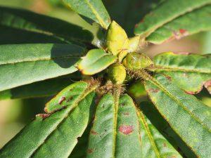 Rhododendron monosemanthum