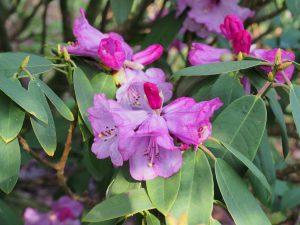 Rhododendron rireii