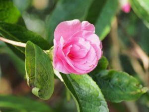 Camellia granthamiana