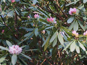 Rhododendron sutchuenense