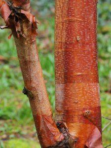 Betula albosinensis 'Bowling Green'