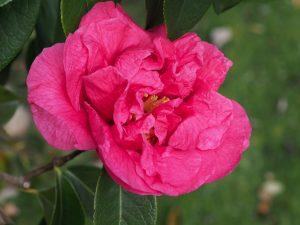 Camellia reticulata 'Arch of Triumph'