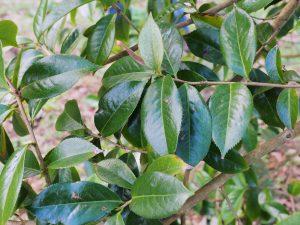 Camellia bailingshanica