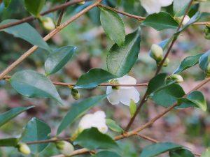 Camellia forrestii