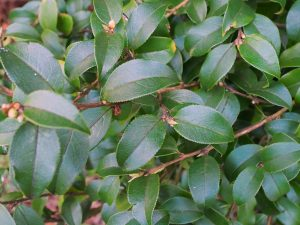 Camellia kissii