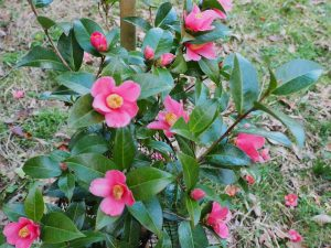 Camellia minor