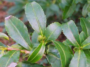 Camellia sinensis var sinensis