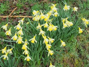 good show of daffodils