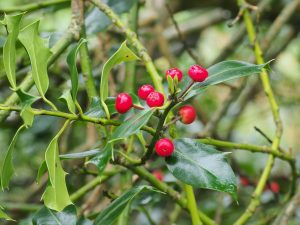Holly berries (Ilex aquifolium)