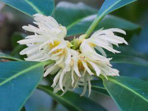 Illicium macranthum