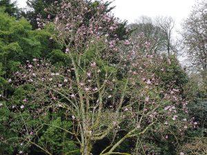 Magnolia campbellii seedling
