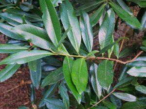 Polyspora axillaris