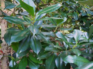 Polyspora yunnanensis