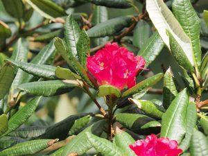 Rhododendron albotomentosum