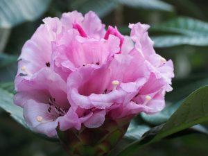 Rhododendron giganteum