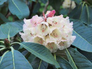Rhododendron protistum x Rhododendron macabeanum