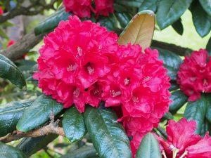Rhododendron zeylanicum