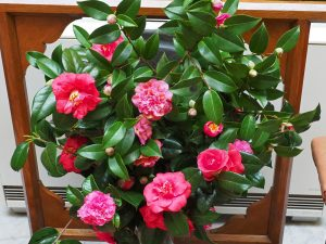 camellias in the hall