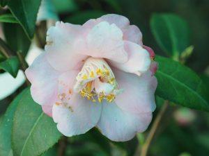 Camellia x williamsii 'Christmas Daffodil'