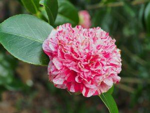 Camellia 'Little Bit'