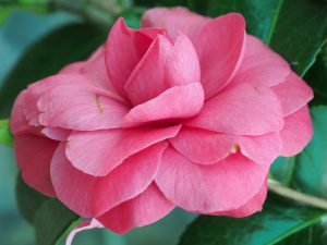 Camellia 'L T Dees'