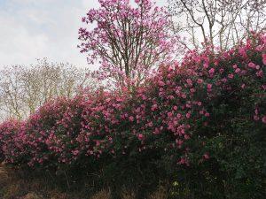 magnolia avenue above the Camellia 'Donation' hedge