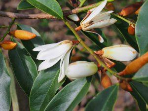 Michelia 'Fairy White'