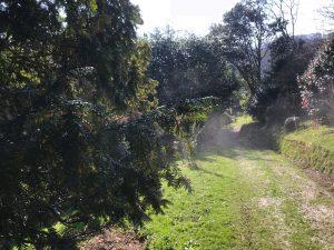 Flowering yew trees below Burns Bank