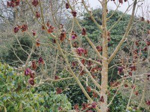 Magnolia 'Copeland Court'