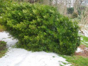 Podocarpus heinkelii