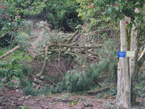 Pinus insigni