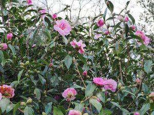 Camellia x willimasii 'Galaxie'