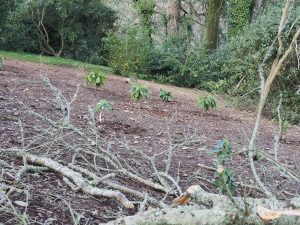 new rhododendron planting