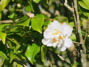 Camellia Lutchunesi