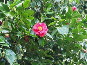 Camellia reticulata 'Royalty'