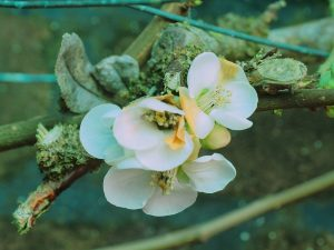 Chaenomeles speciosa 'Nivalis'