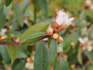 Rhododendron siederopyllum