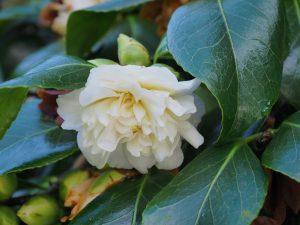 Camellia 'Sode-gashuki'