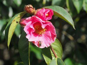 unnamed Camellia reticulata