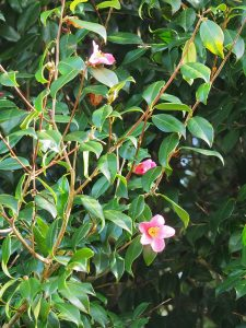 UK Record largest Camellia x williamsii (never named)