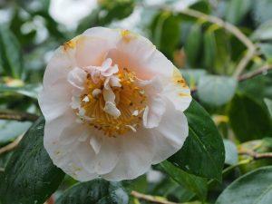 Camellia 'Mrs D.W. Davis'