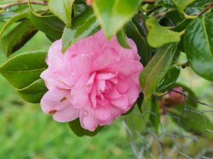 Camellia 'Dream Boat'