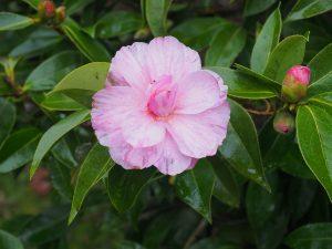 Camellia 'Galaxie'