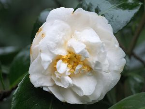 Camellia 'Silver Anniversary'