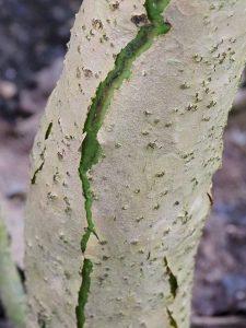 Hydrangea aspara spp. robusta