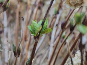 hydrangea clump