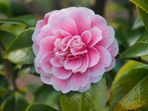 Camellia 'Duchess de Caze'