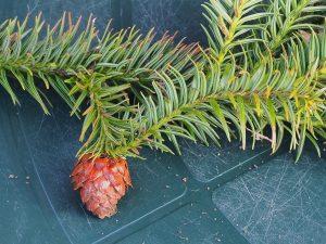 Cunninghamia lancolata